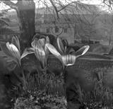 Crocus apparition by bronwen coe, Photography