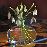 Snowdrop still life by bronwen coe, Photography