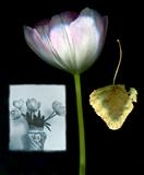 tulip leaf still life by bronwen coe, Photography